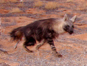 The brown hyena is very crafty and tricky prey.